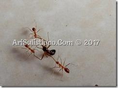 Semut berantem