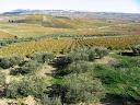 Olivenoel aus Castelvetrano