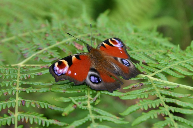 UK butterfly. Photo: Dr Aldina Franco / UEA / PA Wire