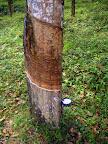 Drzewo kauczukowca.