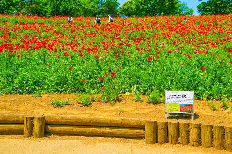 Showa Kinen Park Shirley poppy photo1