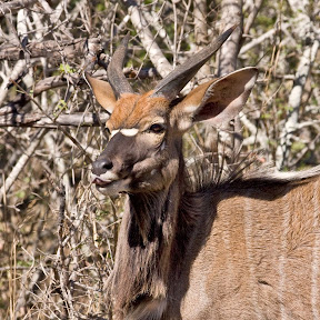 Nyala Male 2, South Africa