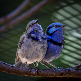 Father and Son by Gary Tindale - Animals Birds ( aviary, colour, nature, blue, wren, birds,  )