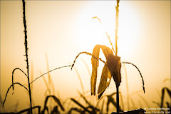 Restes de maïs