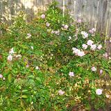 Gardening 2015 - 116_7645.JPG