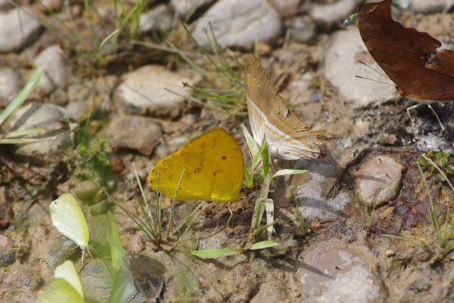 Phoebis sennae marcellina (Cramer, 1777) et Marpesia chiron chiron (Fabricius, 1775). Finca La Graciela, 239 m (Tamarindo, Casanare, Colombie), 5 novembre 2015. Photo : J.-M. Gayman