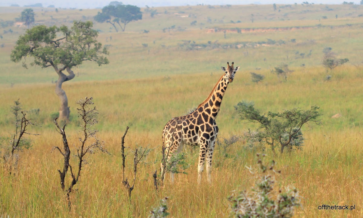 Żyrafa Rothschilda na sawannie, park narodowy Murchison Falls, Uganda