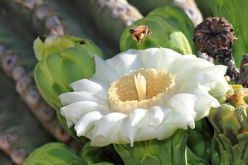 Кактус сагуаро в цвету
