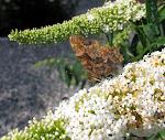 Det hvide C på sommerfuglebusken.jpg