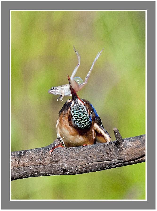Malachite kingfisher by Louis Groenewald - Animals Birds