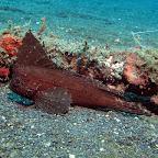 Cockatoo Leaffish (Lembeh Strait)