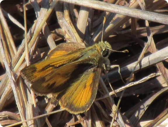 8 Withlacoochee Trail - Whirlabout (Polites vibex) Skipper Butterfly (1)