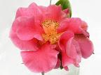 桃色 八重咲き 中輪