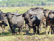 Buffalo at Carmor Plains, up close!