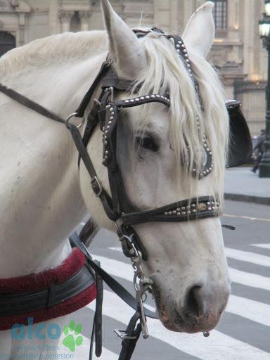 El freno metálico en el hocico del caballo es una tortura para el animal. Es una crueldad que se puede y se debería evitar.