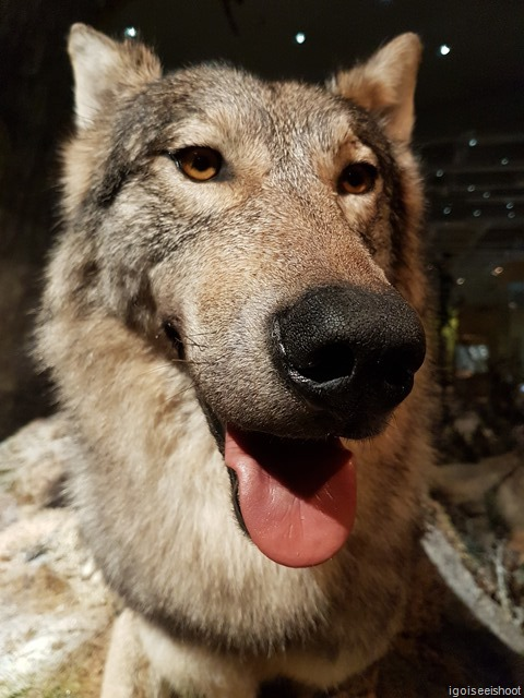 A wolf with a smile like a friendly dog. Natural History Museum (Naturhistoriska riksmuseet) in Stockholm.