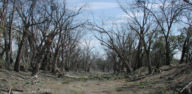 Dead river red gums line a dry creek west of Mildura, Australia. Photo: Gillis Horner