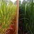 Localização na lavoura muda a percepção da cana-de-açúcar em relação à passagem do tempo
