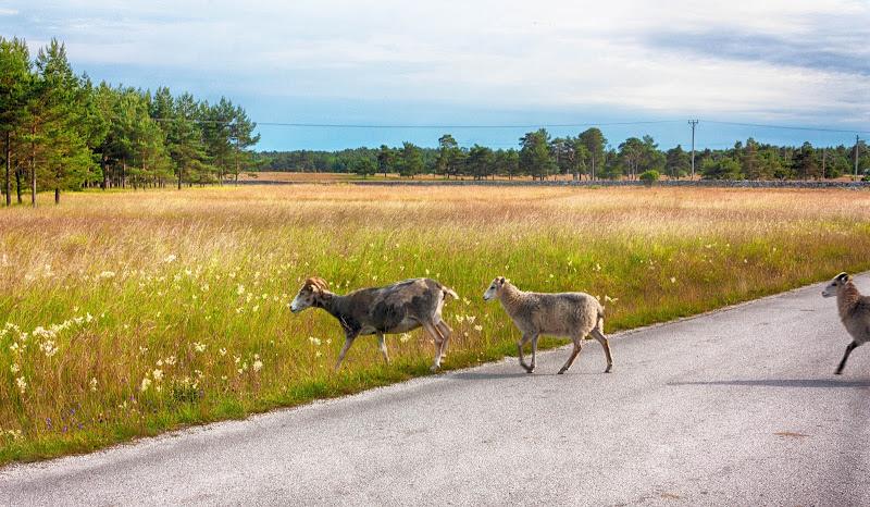 diritto di precedenza a Gotland di Merida