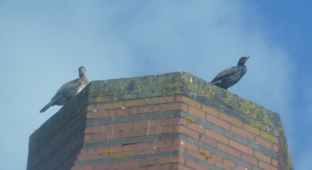 [4a+cormorants+on+smethwick+pumpingstation+chimney%5B5%5D]