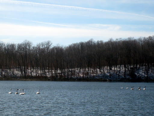 Two groups of swans that eventually joined together