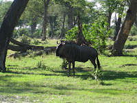 Wildebeest - Linyanti Concession (Chobe Region)