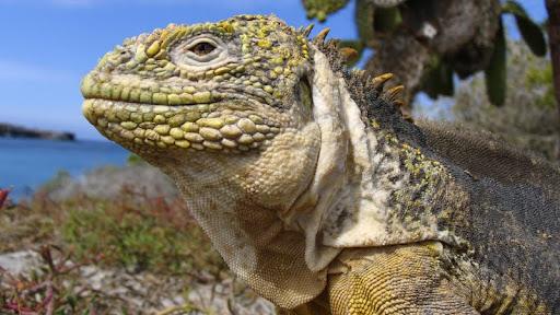 Galapagos Land Iguana, Galapagos Islands, Ecuador.jpg