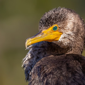 Cormorant by Don Young - Animals Birds ( close up, nature, bird photography, bird, cormorant, portrait,  )