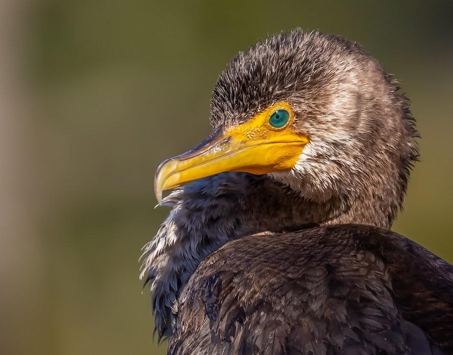 Cormorant by Don Young - Animals Birds ( close up, nature, bird photography, bird, cormorant, portrait,  )