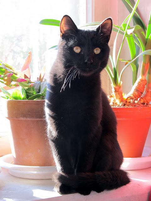 Для чего нужен черный кот