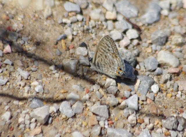 Leptotes pirithous (L., 1767). Bages (Pyr. orientales), 17 août 2013. Photo : J.-M. Gayman