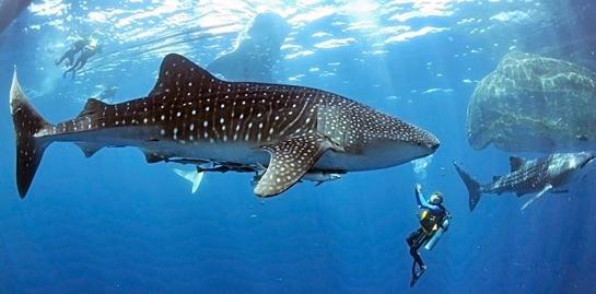 WhaleShark-Diver