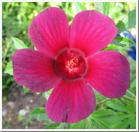10-16-ruby-hibiscus2