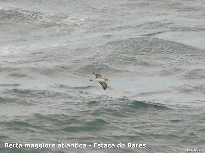 Berta maggiore atlantica - Estaca de Bares