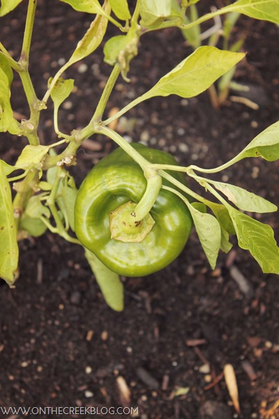 Green Pepper Plant with pepper