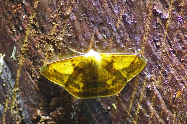 Acrosemia vulpecularia Herrich-Schäffer, 1855. Valle de las Minas, Hornito, cordillère de Talamanca, 1100 m (Chiriquí, Panamá), 27 octobre 2014. Photo : J.-M. Gayman