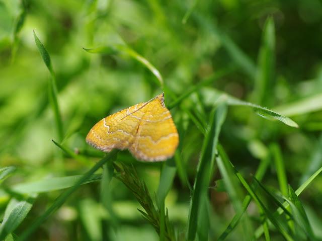 Geometridae. Les Hautes-Lisières (Rouvres, 28), 8 juin 2015. Photo : J.-M. Gayman