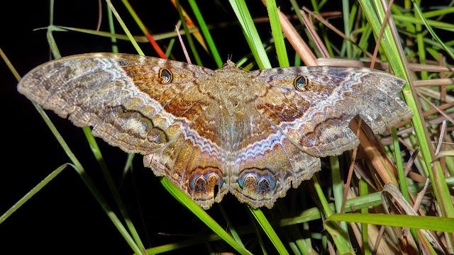 Noctuidae : Ophiderinae : Ascalapha odorata (Linnaeus, 1758), femelle. San Juan, près de Caranavi, 1000 m (Yungas, Bolivie), 10 décembre 2014. Photo : Jan-Flindt Christensen