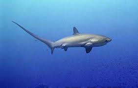 Requin renard. Cette photo n'est pas de moi