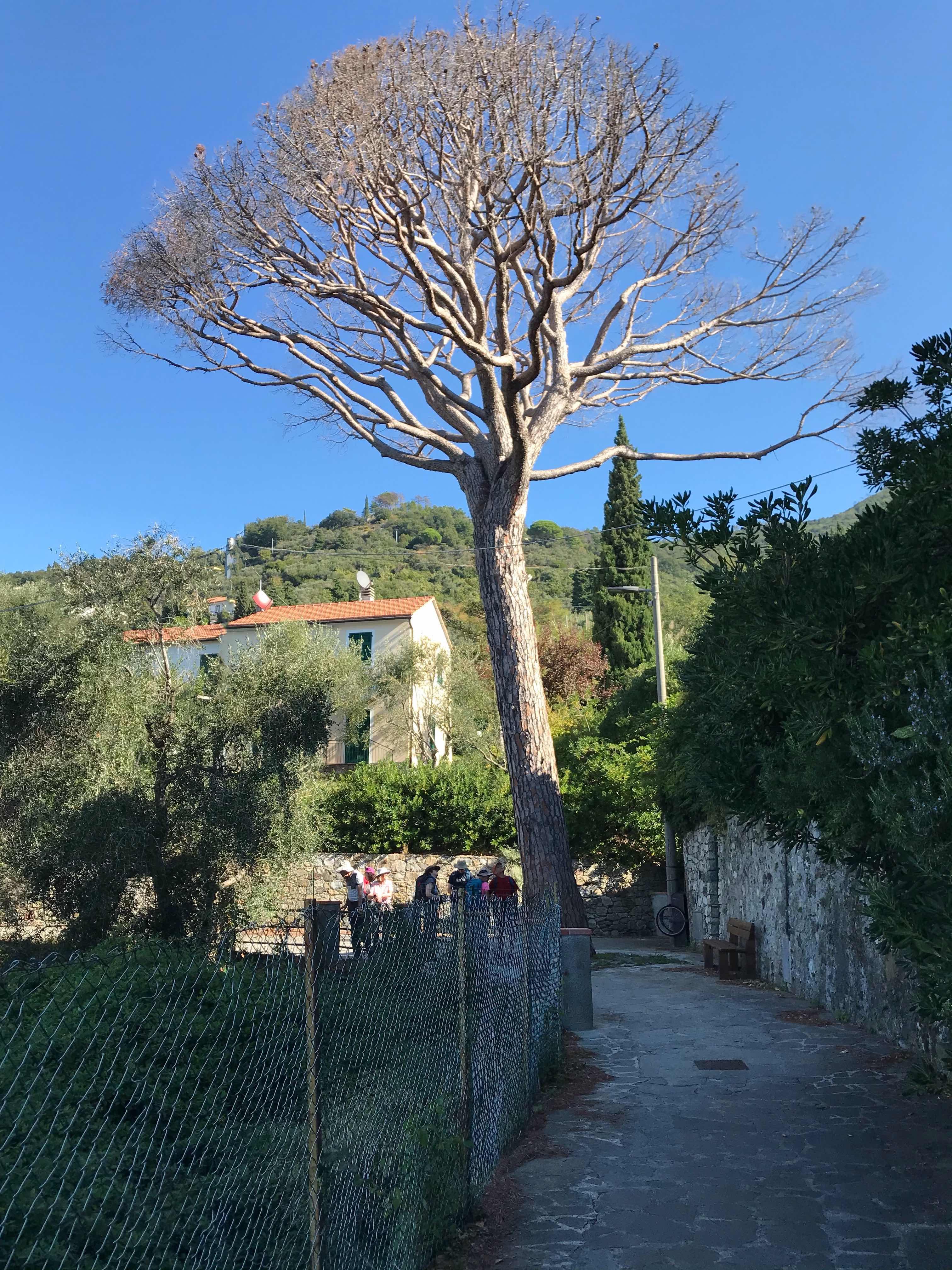 Anzo tree