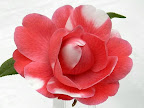 桃紅色地 白斑入り 千重咲き 大輪