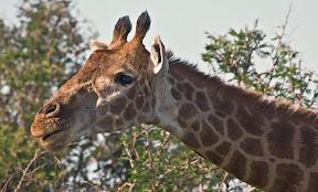 Female Giraffe, South Africa
