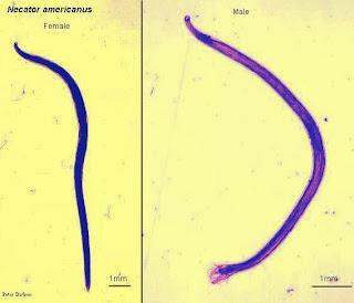 hookworm(鉤蟲) - 小小整理網站 Smallcollation
