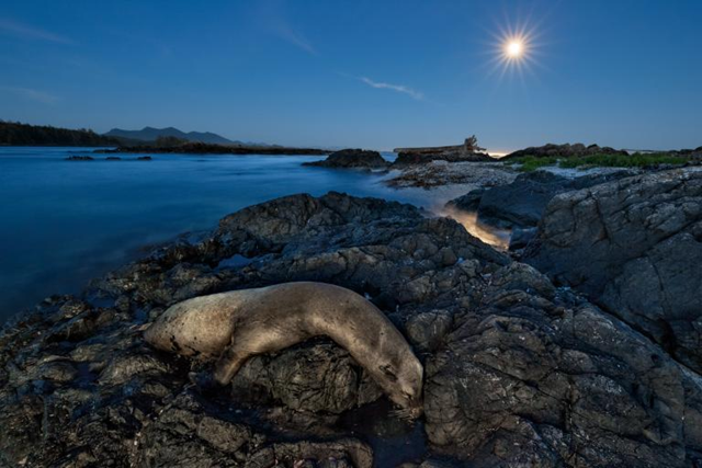 Thousands of California sea lions, such as this one on rocks near Canada's Vancouver Island, died in 2014 and 2015. Many starved as they struggled to find food in an unusually warm eastern Pacific. Photo: Paul Nicklen / National Geographic