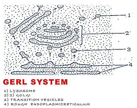 golgi apparatus  (2)