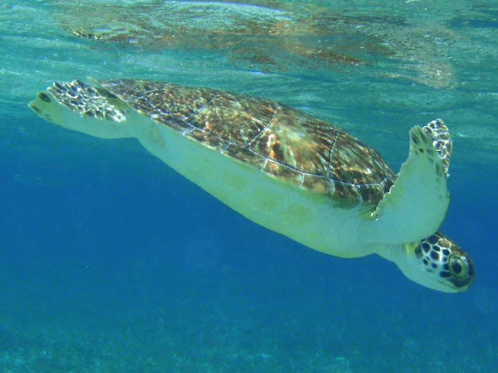 Chelonia mydas (Green Sea Turtle) off Ambergris Caye, Belize.