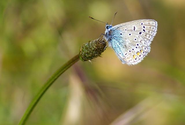 Polyommatus icarus ROTTEMBURG, 1775, mâle, verso. Les Hautes-Lisières, 29 mai 2009. Photo : J.-M. Gayman