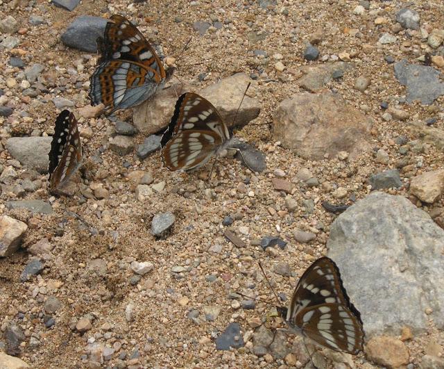 Limenitis amphissa (à gauche), Limenitis populi (en haut, à gauche) et Athymodes nycteis (au milieu et à droite). Cinq km au sud de Novogordeevka près d'Anutchino (Primorskij Kraj, Russie), 3 juillet 2011. Photo : Jean Michel