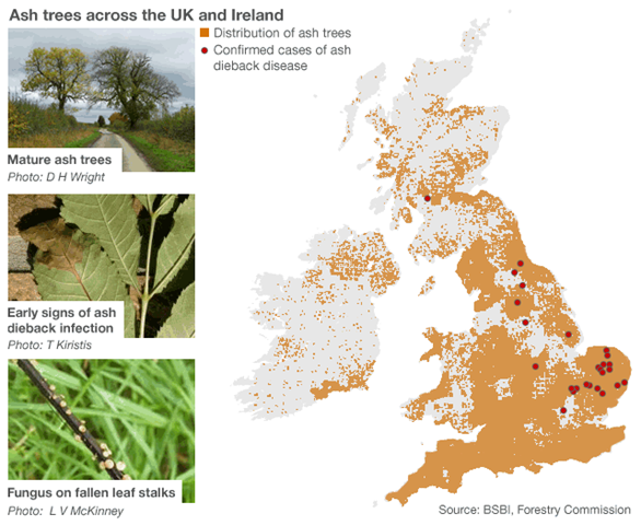Map of ash trees across the UK and Ireland showing confirmed cases of ash dieback disease (Chalara). Graphic: BBC News