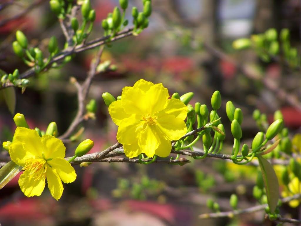 Hình nền hoa mai đẹp